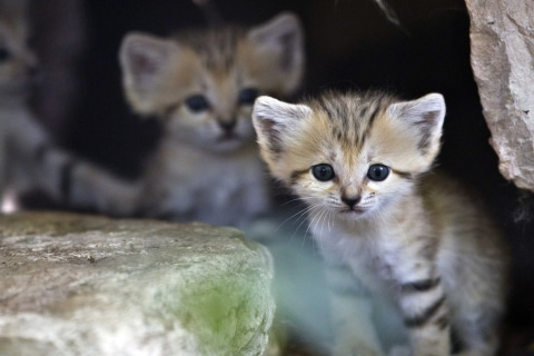 A sand kitten sits at her enclosure at the Ramat Gan Safari near Tel Aviv August 14, 2012. Four sand kittens, considered extinct in Israel, were born 3 weeks ago at the safari park, an open-air zoo, a statement from the safari said. REUTERS/Nir Elias (ISRAEL - Tags: ANIMALS TPX IMAGES OF THE DAY)