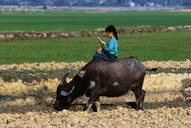 Vietnamese Girl Reading Book While Riding Buffalo